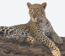 Leopard | Big Five Tours