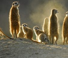 Meerkats | Big Five Tours
