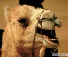 Camel | Big Five Tours