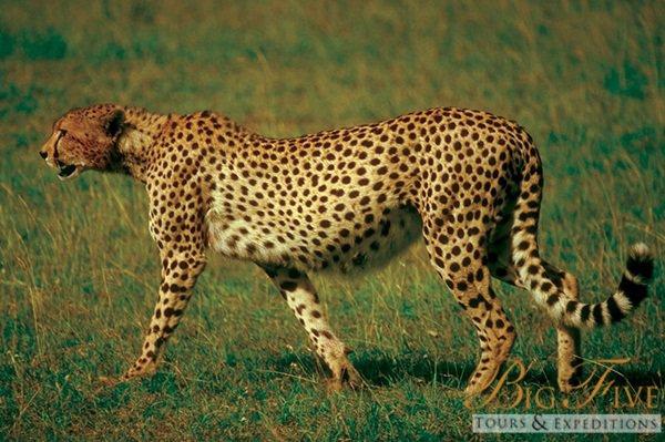 Cheetah | Big Five Tours