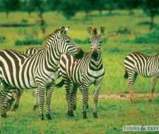 Zebras | Big Five Tours