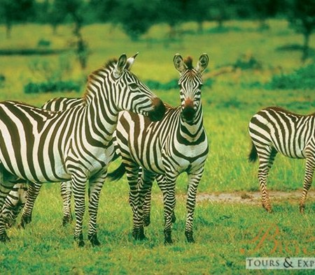 Family of Zebras_7655996744_m
