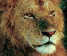 Lion | Big Five Tours