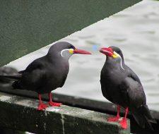 Peru Birds | Big Five Tours