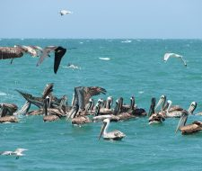 Peru Pelicans | Big Five Tours