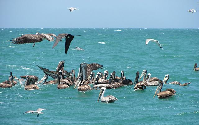 Peru Pelicans | Big Five Tours
