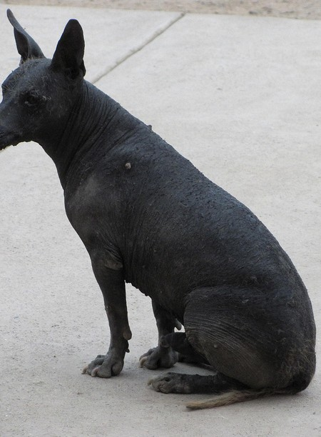 Peru's Hairless Dog