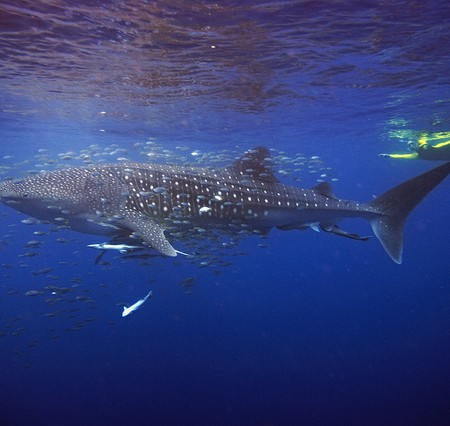 Diving with Whalesharks at Ningaloo Reef