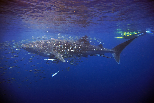 Diving with Whalesharks at Ningaloo Reef | BIg Five TOurs