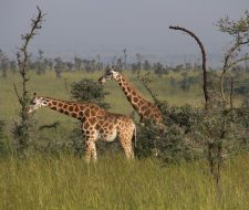 Giraffe | Big Five Tours