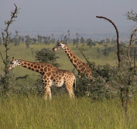 Rothschild Giraffe, Uganda