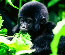 Gorilla | Big Five Tours