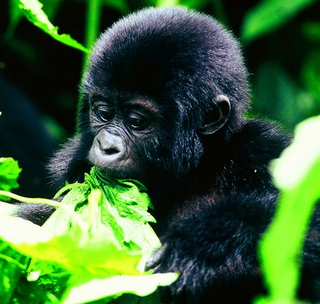 Sanctuary Gorilla Forest Camp Baby Gorilla, Uganda