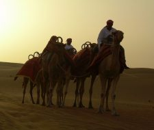 Dubai Camels | Big Five Tours