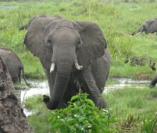 Elephant | Big Five Tours