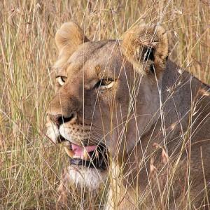 Kalahari-Desert-Lioness