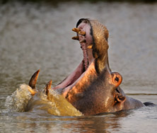 Hippo Sabi Sabi | Big Five Tours