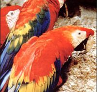 Ecuador Parrots | Big Five Tours