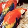 ecuador parrotsSM