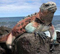 Gala lizard | Big Five Tours