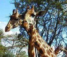 Giraffes | Big Five Tours