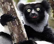 Lemur1 copy