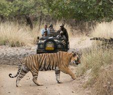 Indian Tiger | Big Five Tours