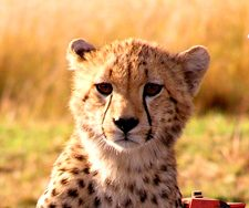 Cheetah | Big Five Tours