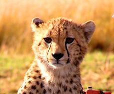 Cheetah sm