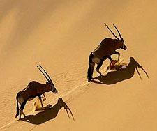 Oryx climbing the Hoarusib Dune Wall | Big Five Tours