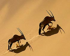 Oryx climbing the Hoarusib Dune Wall