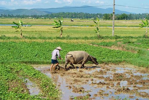 Rice Field, Hanoi