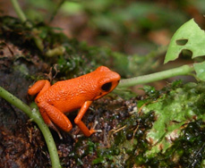 frog, EcoCircuitos Panama