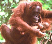 Mother & baby Orang-utan v