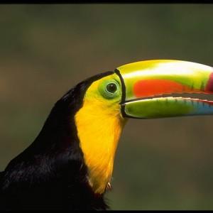 Belize Tucan