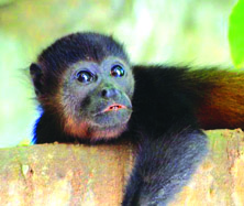 CR Baby Howler monkey | Big Five Tours