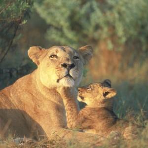 The Selinda Botswana, Lions