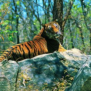 tiger-preserves-india