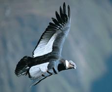 Andean condor 2