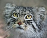 Big Five Pallas Cat Bhutan