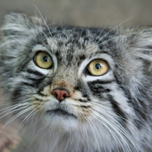 Big Five Pallas Cat Bhutan