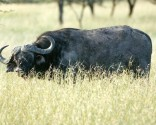 Kenya Great Migration Water Buffalo
