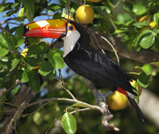 Toucan | Big Five Tours