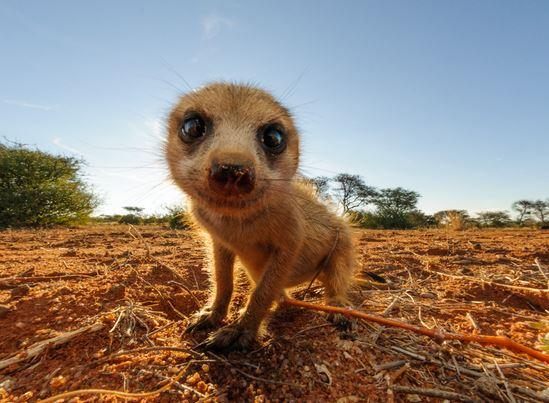 Tswalu-meercats