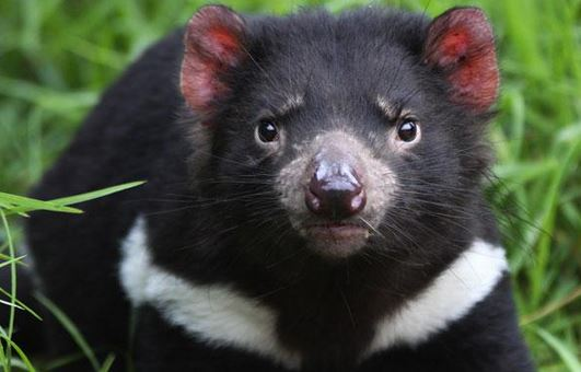 Help save Australia's tasmanian devils.