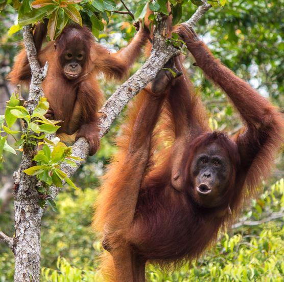 Orangutan-tanjung-puting