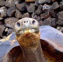 gala turtle