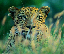 Leopard | Big Five Tours