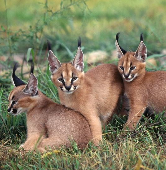 Caracals are found across Africa, the Middle East, and Southwest Asia into India.