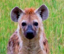 Hyena | Big Five Tours
